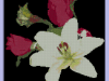 roselily2